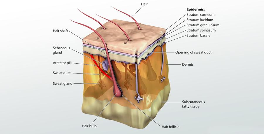 Anatomy Of The Skin Dermatologist Tips Advice